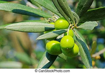 Olive 43