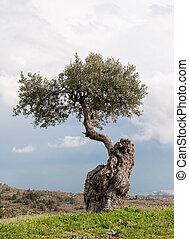 olive, alleinstehender baum