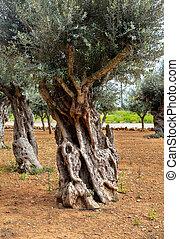 olive, alter baum, stamm