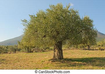 olive, alter baum