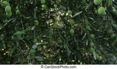 olive, arbre vert