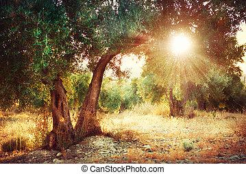 olive, arbres