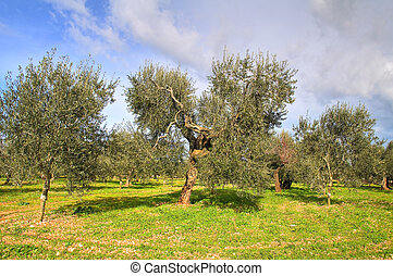 olive, bäume.