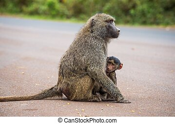 Olive baboon mother with its baby on the street