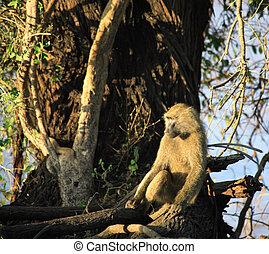 Baboon sat in a tree