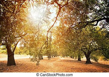 olive, bauernhof, bäume
