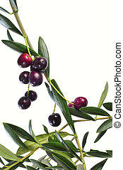 olive branch - an olive tree branch isolated on a white ...