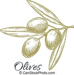 Olive branch of green olives vector sketch