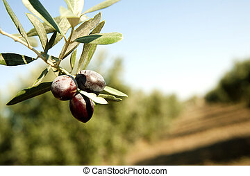 Olive Branch in a grove. Black olive.