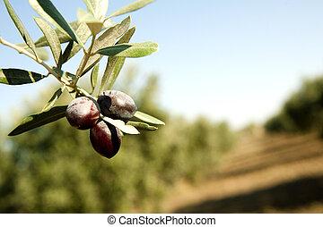 Olive branch - Olive Branch in a grove. Black olive.