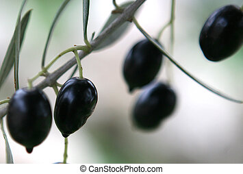 Olive branch - Ripe black olives on a branch. Big macro, ...