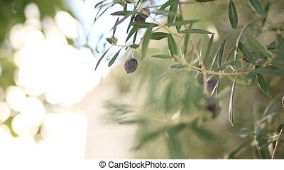 Olive branch with fruits. Olive groves and gardens in...
