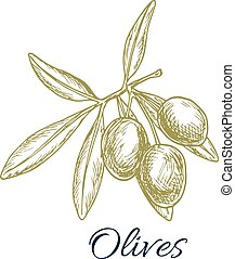 Olive branch with green olives vector sketch