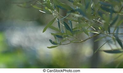 Olive branch with leaves close-up. Olive groves and gardens...