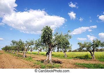 olive, champ, arbres, portugal