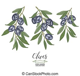 Olive collection. Black olives branches isolated on white background. Vector illustration botanical. Hand drawn engraving style.