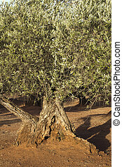 olive, coucher soleil, arbres
