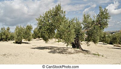 Olive Country