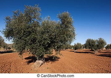 Olive countryside, Toledo, Castilla la Mancha, Spain