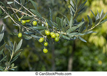 olive fruit on the tree