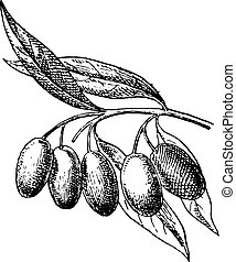 Olive fruit, vintage engraving.