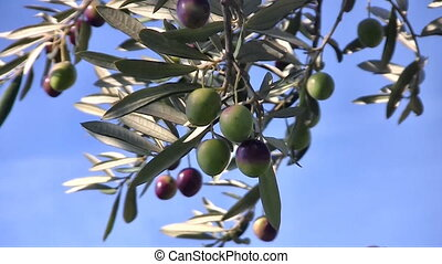 Olive fruits close up on tree