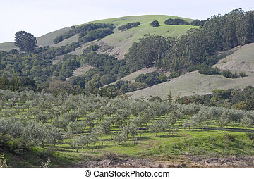 A beautiful grove of northern Californian olive trees.