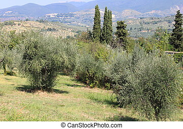 Olive grove - Ancient olive grove in Tuscany, Italy