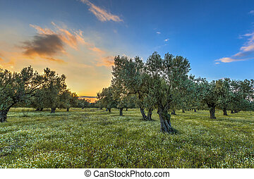Olive grove at sunset - Rising morning sun over olive grove ...