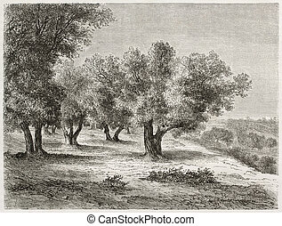 Olive grove - Old illustration of Olive grove. Created by...