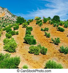 Olive Grove in Spain