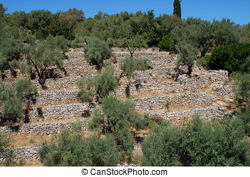 Olive grove, Meganissi - An olive grove with terraced stone...