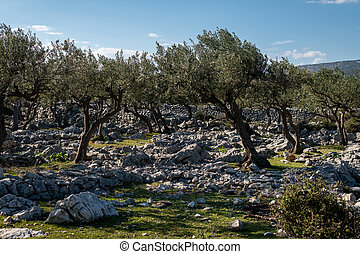 olive grove on Cres on a sunny day in spring
