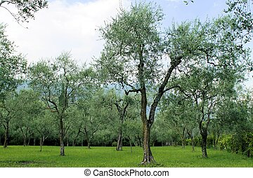 olive grove on Garda lake in northern Italy