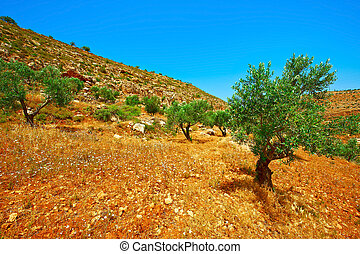 Olive Grove on the Slopes of the Mountains of Samaria, ...