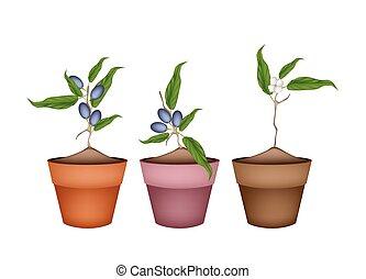 Olive Grove Plants in Ceramic Flower Pots