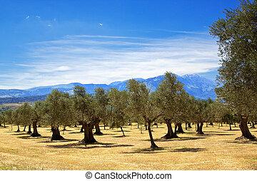 Olive grove quater - Olive grove in Abruzzo region, Italy