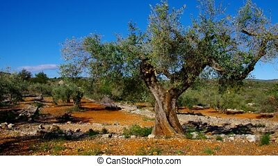 olive grove,  typical landscape in Spain, Europe