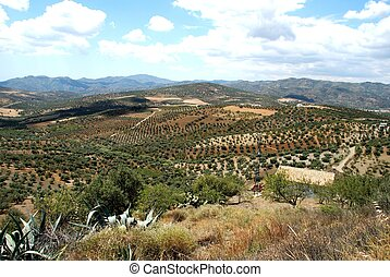 Olive groves and mountains, between Rio Gordo and Periana, Axarquia region, Malaga Province, Andalucia, Spain, Western Europe.