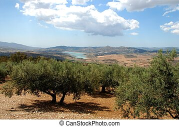Olive groves with Lake Vinuela to rear, Periana, Sierra de Tejeda, Axarquia region, Malaga Province, Andalucia, Spain, Western Europe.