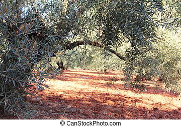 olive, kleingarten, bäume
