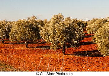olive, la terre, arbres, rouges