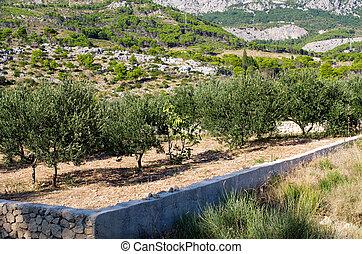 Olive orchard in Croatia