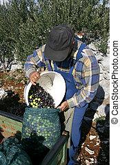 olive picker - Olive picker filling large sack ready for...