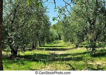 olive, plantage