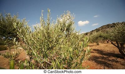 Olive Plantation - video footage of a olive plantation in...