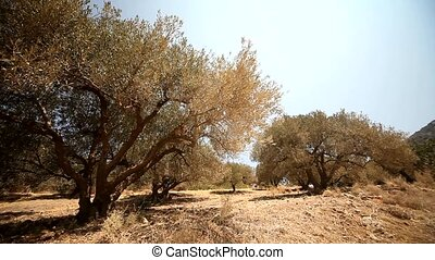 video footage of a olive plantation in crete, greece