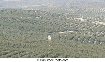 Olive plantations in Spain. Many olive trees grow under the...