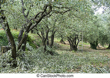 Olive Pruning - Pruning in an olive orchard in the Vaucluse,...