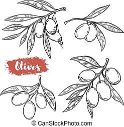 olive, set, poster, menu., vrijstaand, illustratie, hand, achtergrond., vector, ontwerp, illustraties, getrokken, witte , communie